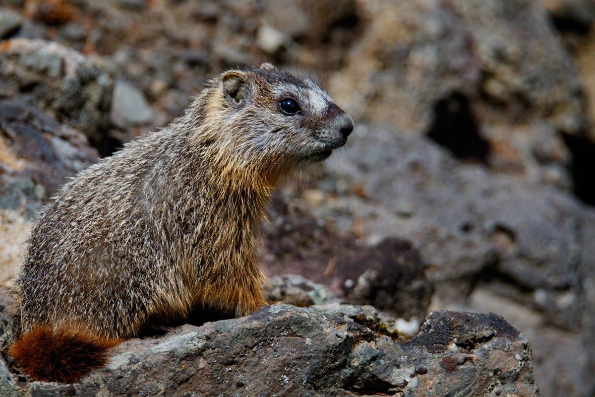 brown raccoon on rock