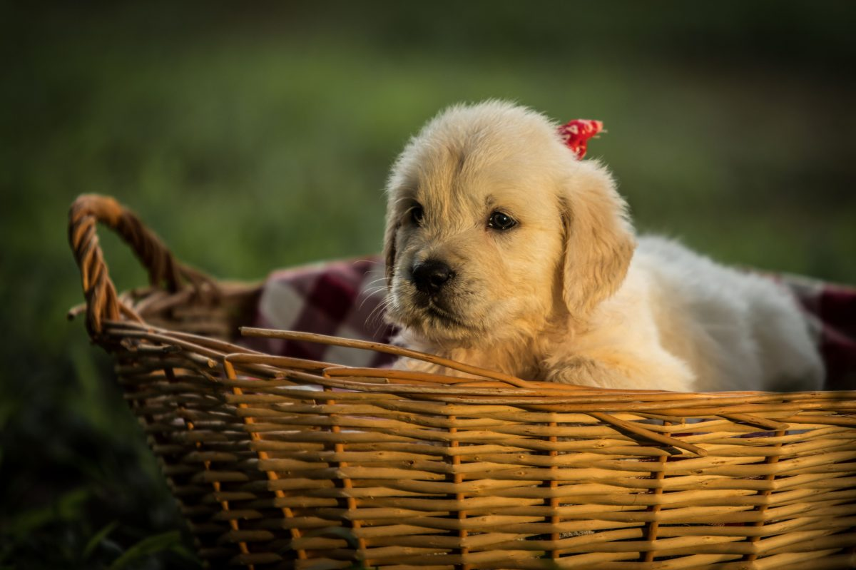 white puppy in basket in macro photography