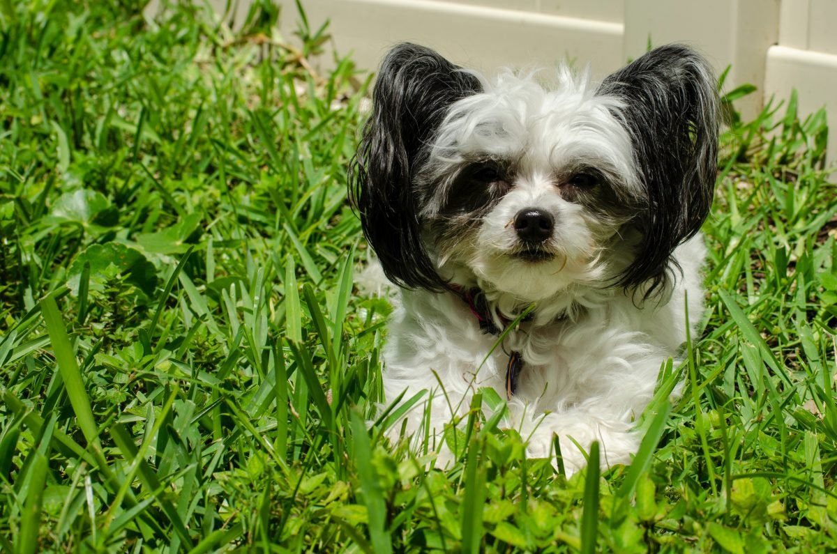 black and white shih tzu puppy on green grass field during daytime